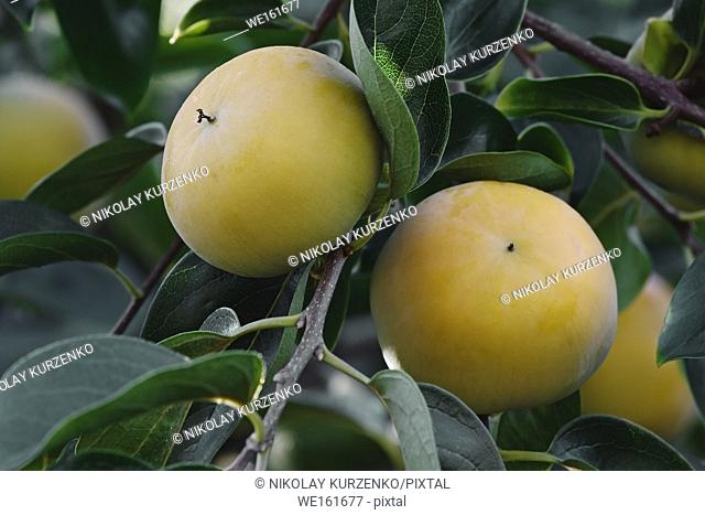 Japanese persimmon (Diospyros kaki). Known also as Kaki Persimmon, Chinese Persimmon, Oriental Persimmon and Asian Persimmon