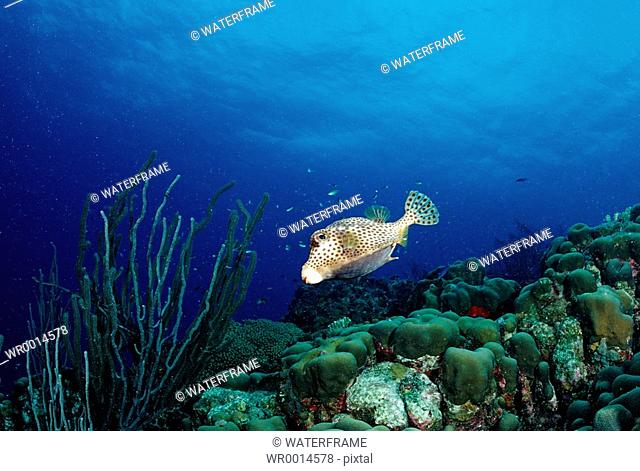 Spotted Trunkfish over Coral Reef, Lactophrys bicaudalis, Caribbean Sea, Tobago