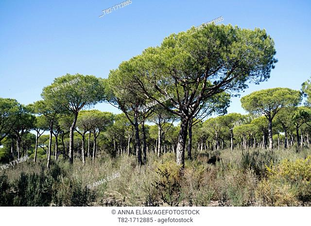 pine forests of the Park of Doñana, Huelva, Andalucia, Spain, Europe
