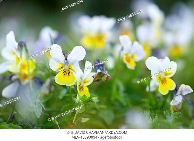 Field Pansy - Summer (Viola arvensis)