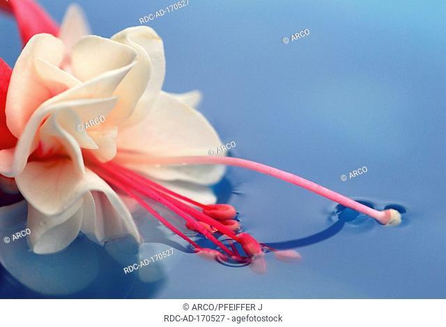 Fuchsia, Fuchsia spec