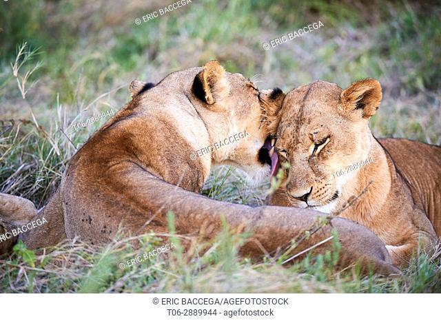 Lioness licking another lioness (Panthera leo) Moremi National Park, Okavango delta, Botswana