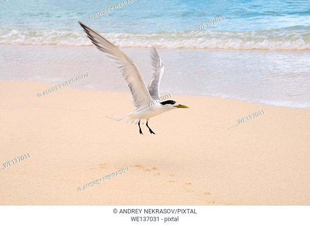 greater crested tern, crested tern or swift tern (Thalasseus bergii) It takes off from the sandy beach, Denis island, Indian Ocean, Seychelles