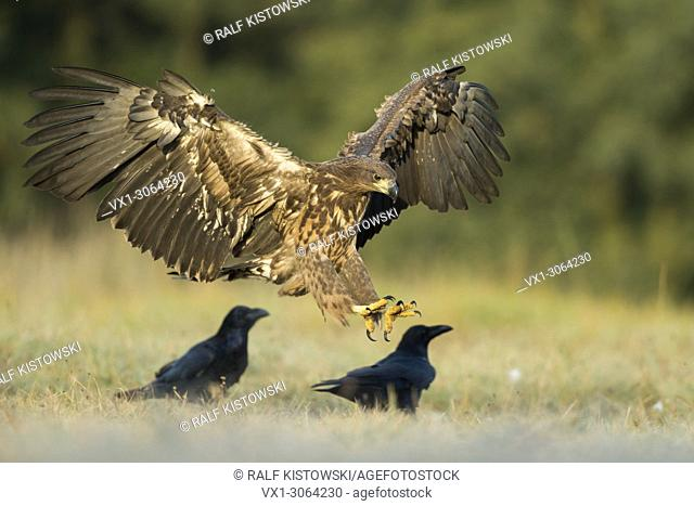 White-tailed Eagle / Sea Eagle ( Haliaeetus albicilla ) juvenile, landing on a meadow next to some ravens, open wings, early morning light, wildlife, Europe