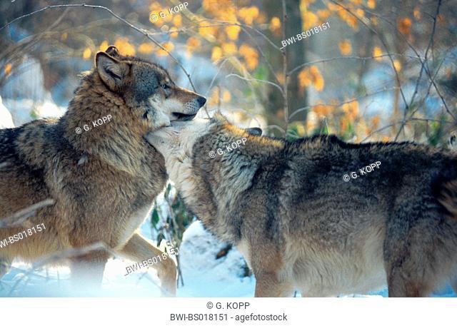 European gray wolf (Canis lupus lupus), dominance behaviour in snow, Germany, Saarland, Merzig