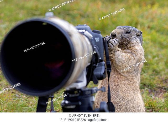 Curious Alpine marmot (Marmota marmota) behind wildlife photographer's Canon camera with large telephoto lens mounted on tripod