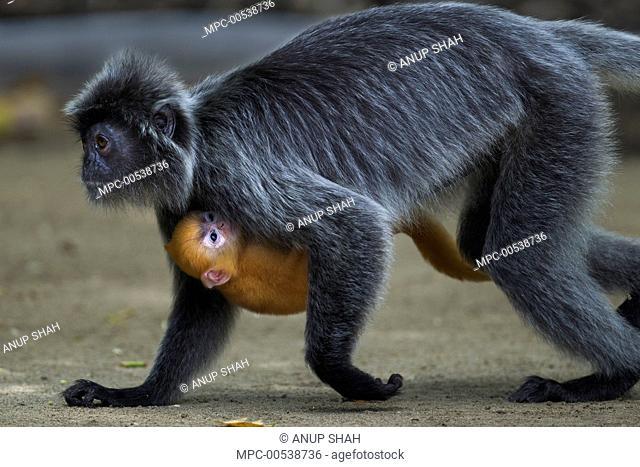 Silvered Leaf Monkey (Trachypithecus cristatus) mother running with baby on beach, Bako National Park, Sarawak, Borneo, Malaysia