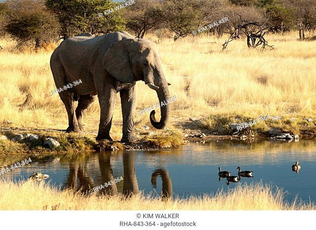African elephant Loxodonta africana at water hole, world's largest land animal, Etosha National Park, Namibia, Africa