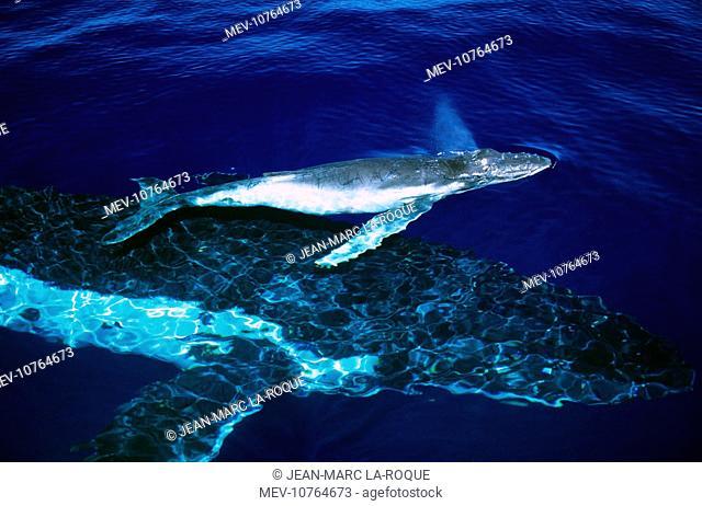 Humpback Whale - female and her week-old calf (Megaptera novaeangliae)