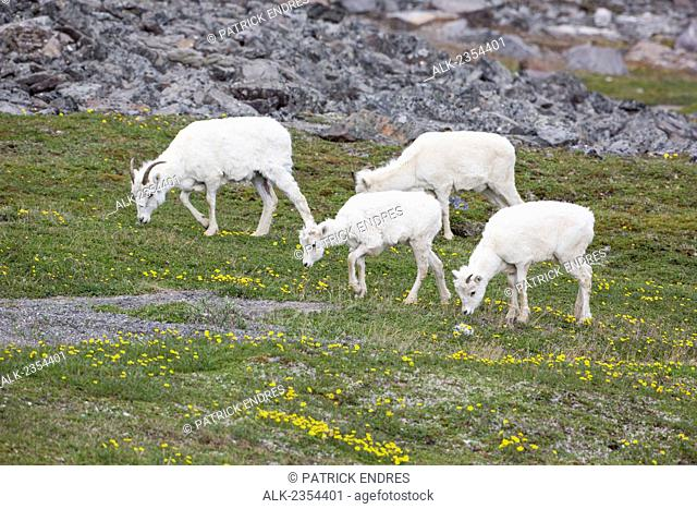 Dall Sheep Ewes Graze On The Tundra Vegetation, Decorated By Ross Avens, In The Brooks Mountain Range, Alaska