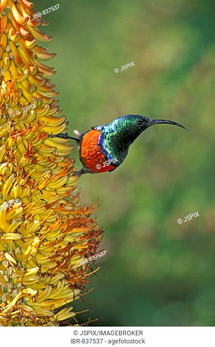 Greater Double-collared Sunbird (Nectarinia afra), male, on a blossom, South Africa