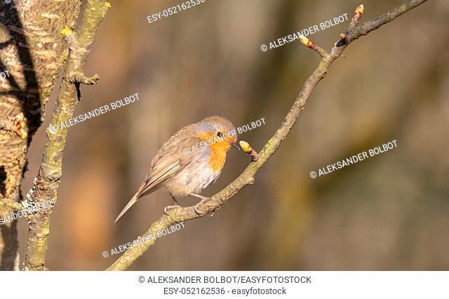 European robin (Erithacus rubecula) sitting on branch in spring sunlight, Podlasie Region, Poland