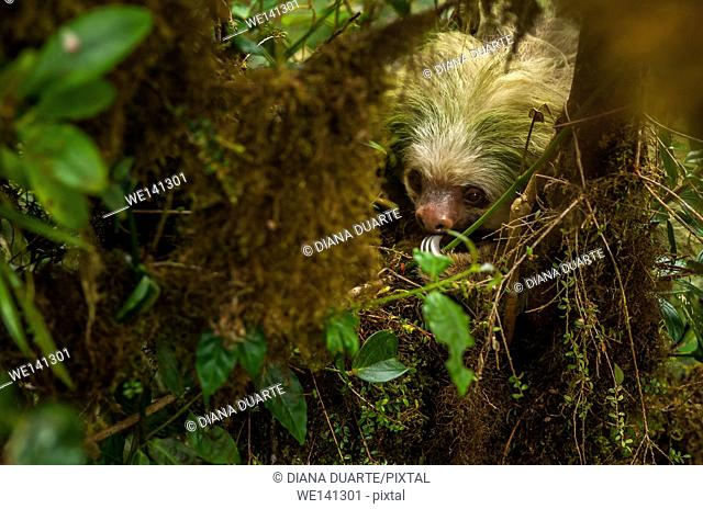 """""""""""Pygmy three-toed sloth"""" (Bradypus pygmaeus), These markings are unique to each sloth like fingerprints are to humans and are therefore very useful for..."