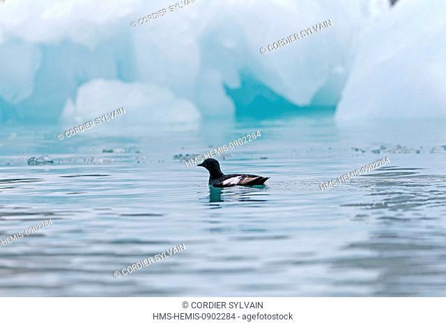 Norway, Svalbard, Spitsbergern, Black Guillemot (Cepphus grylle) adult, summer plumage, sitting on ice floe