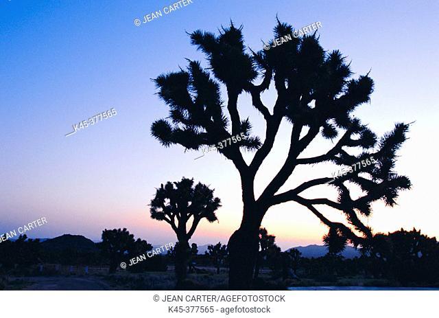 Joshua trees at sunrise. Joshua Tree National Park. California. USA