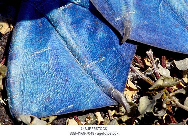 ECUADOR,GALAPAGOS ISLANDS, HOOD ESPANOLA ISLAND, BLUE-FOOTED BOOBY Sula nebouxii, CLOSE-UP OF FEET
