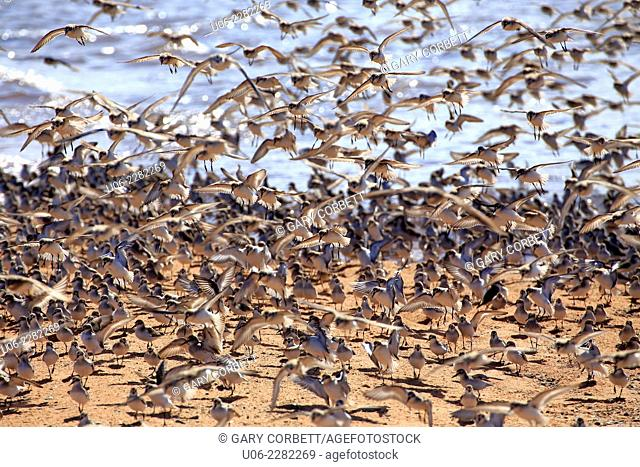 A flock of migrating shorebirds in the bird sanctuary in the Minas Basin, Nova Scotia, Canada