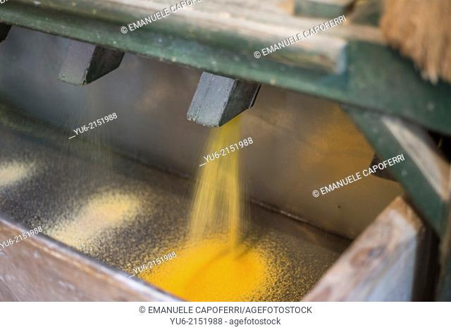 Corn flour comes out from the mill