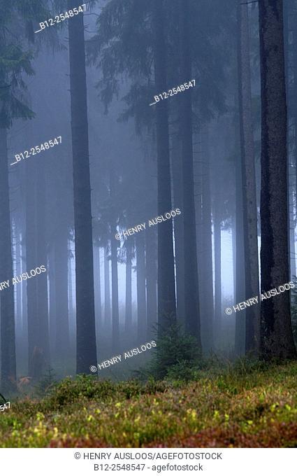 Fog in the wood, Belgium
