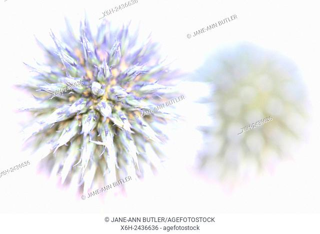 two purple globe thistles, fresh and contemporary