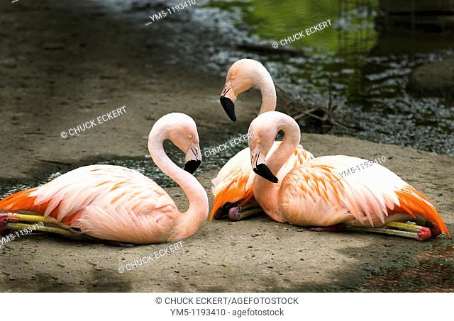 Three Flamingo's Resting by Lake at Chicago's Lincoln Park Zoo