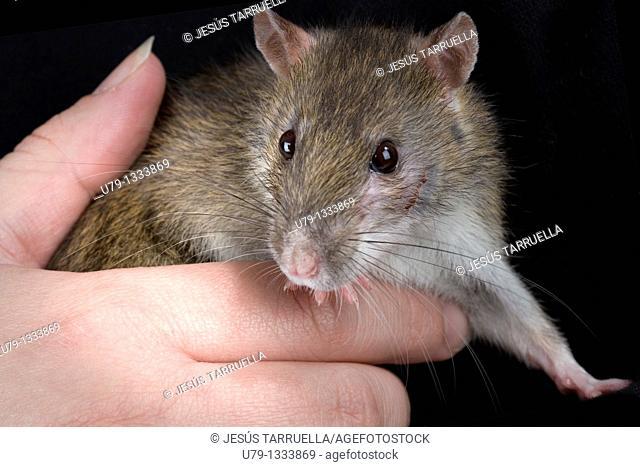 Portrait Sewer Rat Rattus norvegicus domesticated