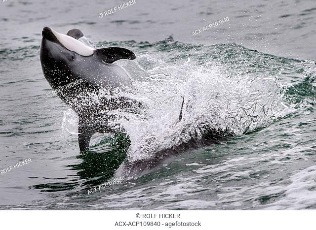 Pacific White Sided Dolphin jumping, back flip in Broughton Archipelago Marine Park, British Columbia, Canada