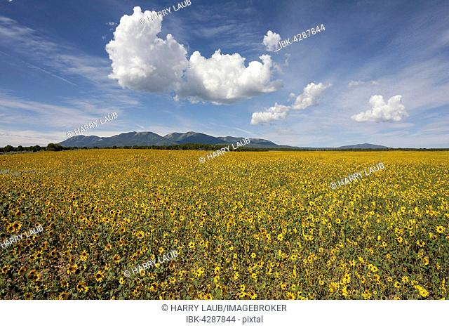 Field with prairie sunflowers (Helianthus petiolaris), cloud formations, Utah, USA
