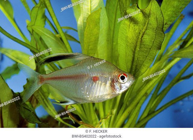 Bleeding-heart tetra (Hyphessobrycon erythrostigma, Hyphessobrycon rubrostigma), swimming