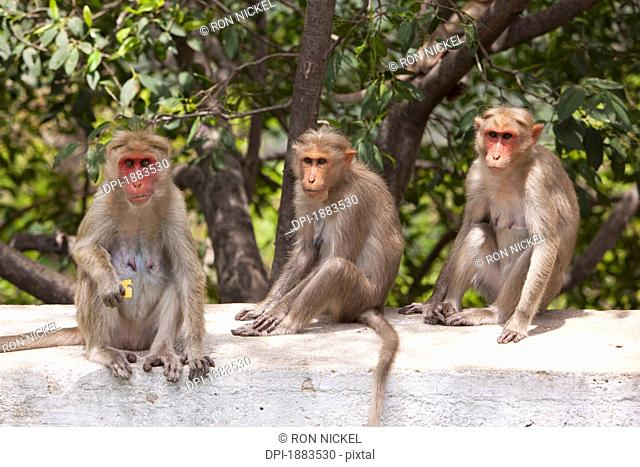 Three Monkeys Sitting On A Concrete Wall, Tamil Nadu, India