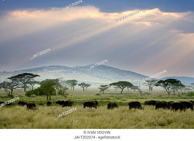 African Buffalo, Serengeti National Park, Tanzania