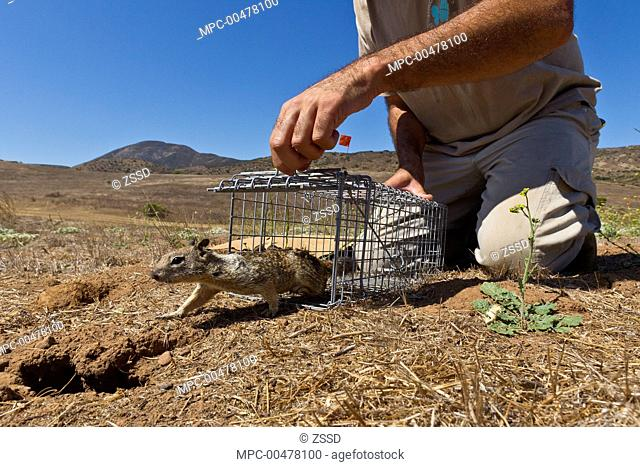 California Ground Squirrel (Spermophilus beecheyi) being released as part of relocation project to build nest burrows for burrowing owls, California