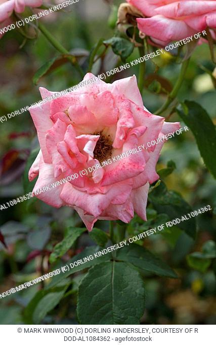 Rosa Bride 'Fryyearn'