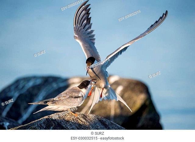 Birds courtship Common Tern. Adult Common Terns (Sterna hirundo)