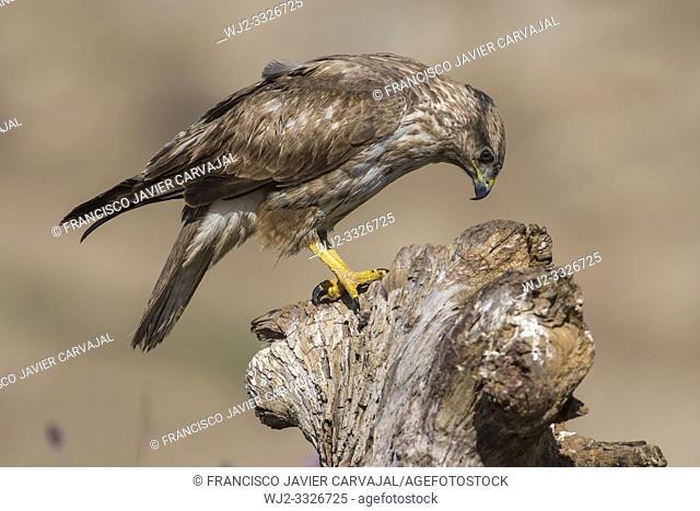 Common buzzard (Buteo buteo) on the trunk in Extremadura, Spain