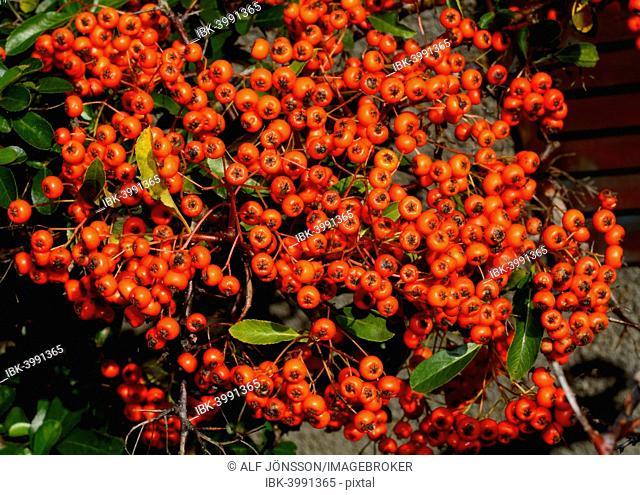 Firethorn (Pyracantha sp.), Sweden