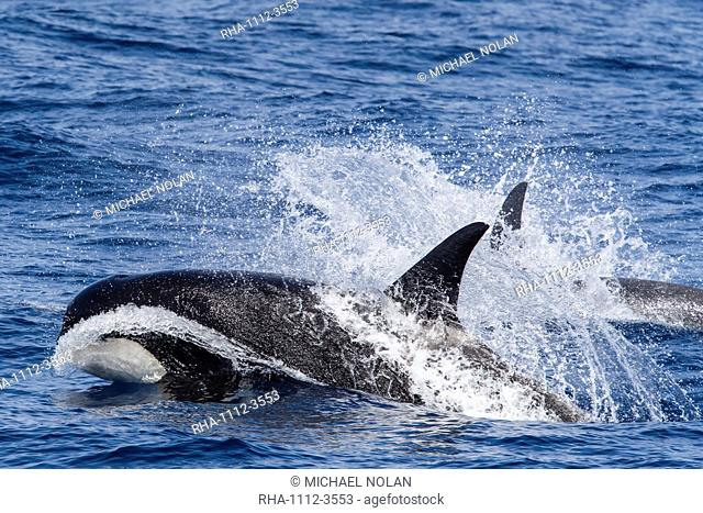 A very rare sighting of Type D (sub-Antarctic) killer whales (Orcinus orca) in the Drake Passage, Antarctica, Polar Regions