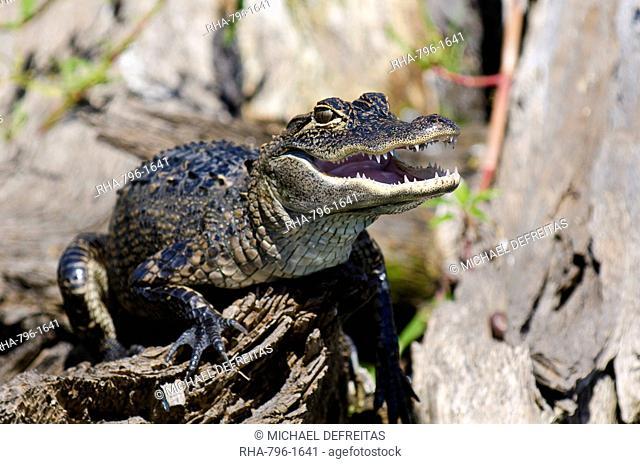 American alligator Alligator mississippiensis, Everglades, UNESCO World Heritage Site, Florida, United States of America, North America