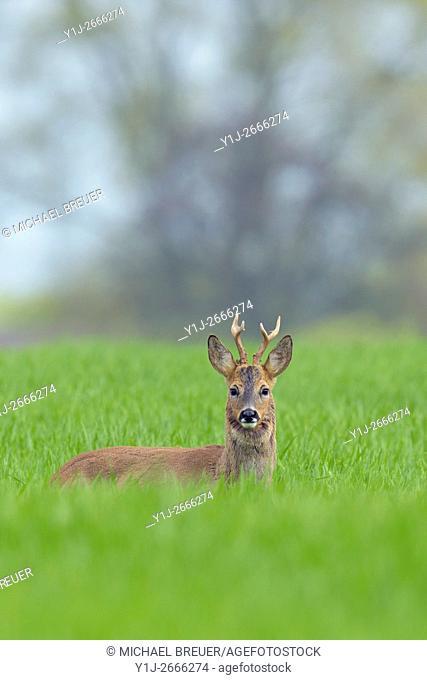 Western Roe Deer (Capreolus capreolus) in Spring, Roebuck, Hesse, Germany, Europe