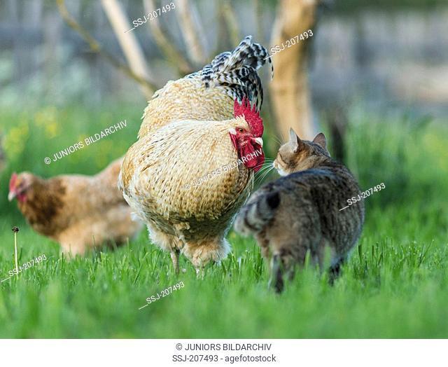 Niederrheiner Chicken. Cock meeting tabby domestic cat on a meadow. Germany