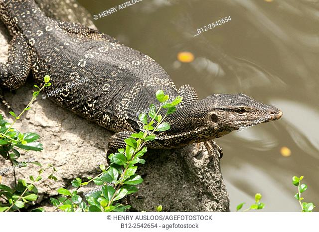 Water monitor lizard Varanus salvator, Thailand