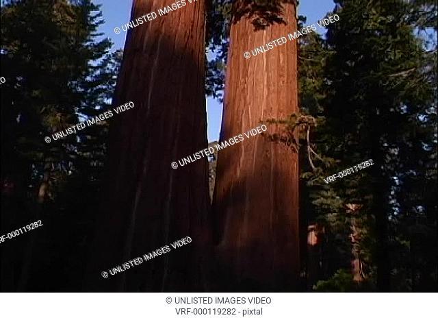 Sequoia trees CA