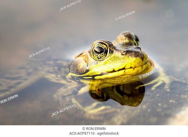 Green Frog (Rana clamitans), French River Provincial Park, Ontario, Canada