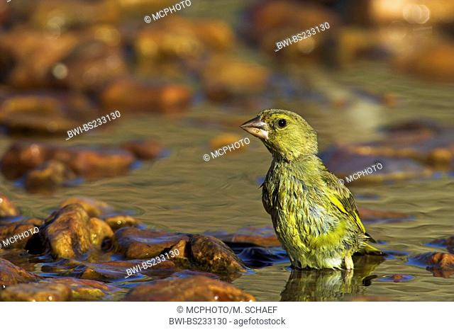 western greenfinch (Carduelis chloris), standing in the shallow water of a brook, Spain, Extremadura