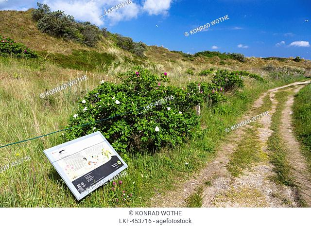 Flinthoern nature trail, Dunes, Langeoog Island, North Sea, National Park, East Frisian Islands, East Frisia, Lower Saxony, Germany, Europe