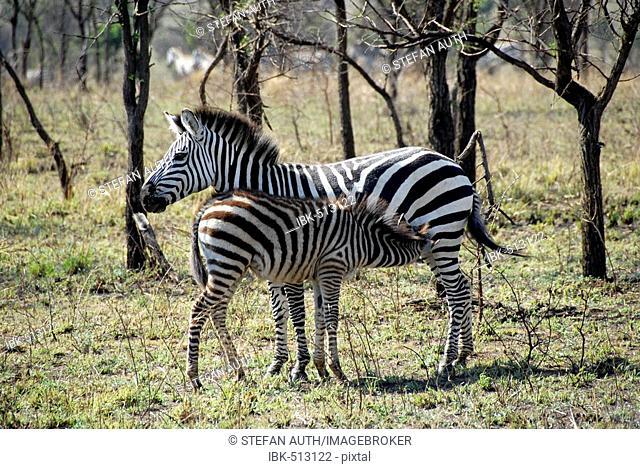 Plains Zebra (Equus quagga, formerly Equus burchelli) and young in the savannah Serengeti National Park Tanzania