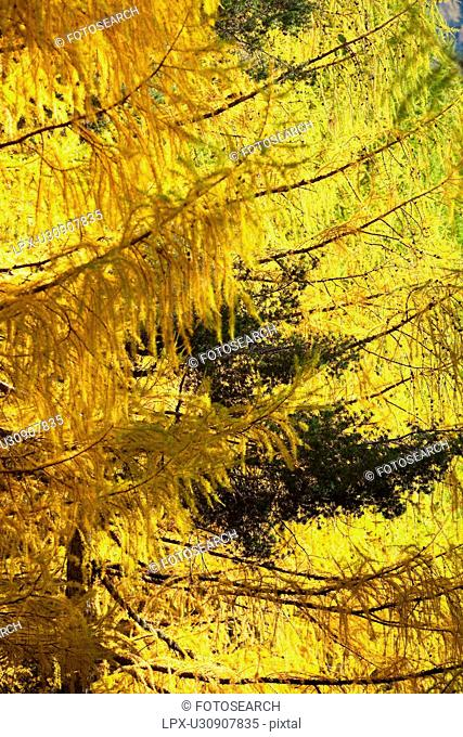 Detail view of branches of pine trees overlapping in colours of yellow and green - autumn in Northern Italy
