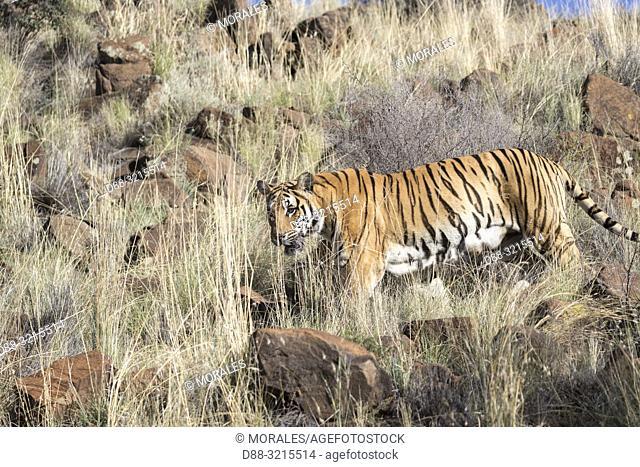 South Africa, Private reserve, Asian (Bengal) Tiger (Panthera tigris tigris), walking