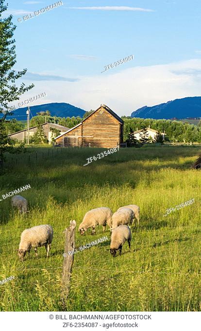 Bozeman Montana scenic view of sheep and barn in beautiful green fields of Western USA