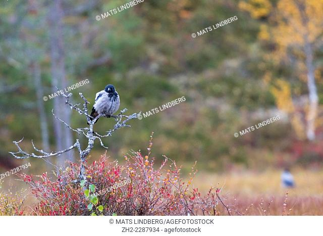 Crow, Corvus cronix, sitting on a bush with red autumn colors, Kuhmo, Finland